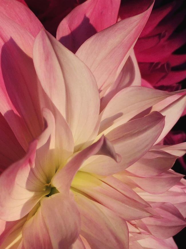 Dahlia Nature's Best Beautifulflowerseveryday Picturestokeepflowers Flowers, Nature And Beauty Iphonephotography EyeEm Best Shots Macro_mood, Flowersandmacro Macro Beauty Weeklymobilemacro Flowers Allkindsofwonderful On Whidbey Island