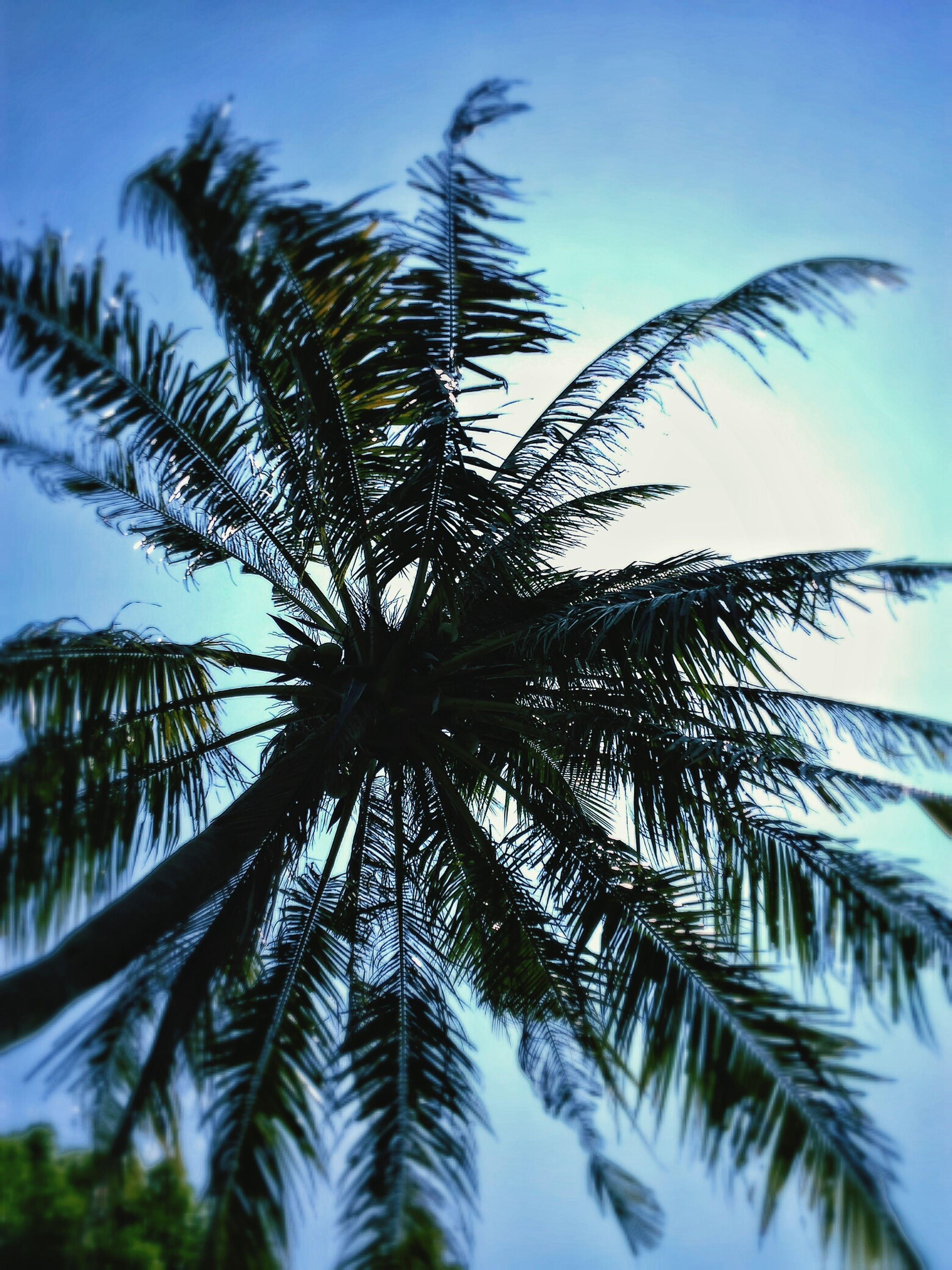 palm tree, low angle view, tree, growth, blue, palm leaf, tranquility, clear sky, sky, nature, beauty in nature, coconut palm tree, scenics, tropical tree, tranquil scene, tree trunk, day, palm frond, outdoors, tropical climate