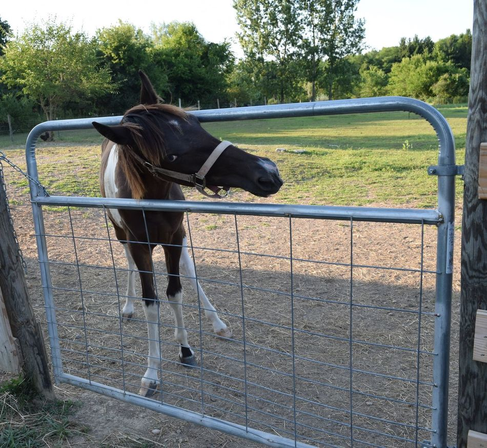 Hey Let me out Animal Animal Head  Colt Escape Artist Hes So Cute Horse Horses Tennessee Walking Horse Yearling