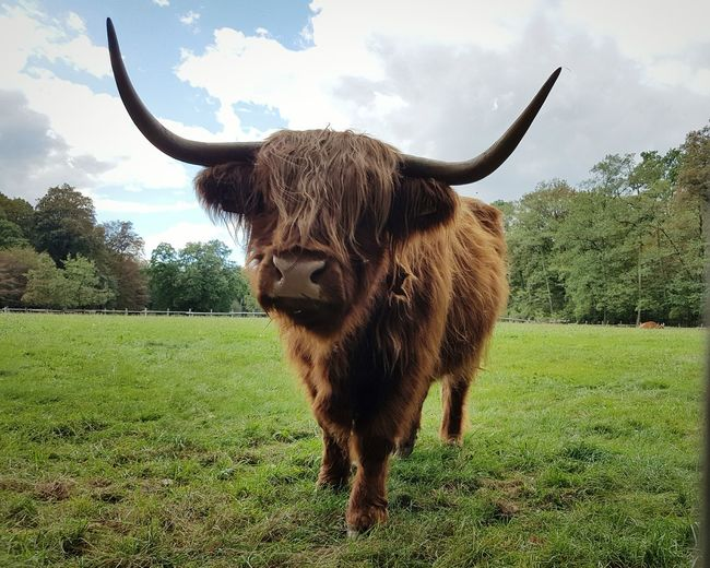 Check This Out - a Hipster Bison. EyeEm Animal Lover EyeEm Best Shots Domestic Animals Horned No People Livestock Animal Themes Sky Agriculture Grass Tree Mammal Outdoors Nature Day Horizontal Portrait Faces Of EyeEm Funny Faces FUNNY ANIMALS