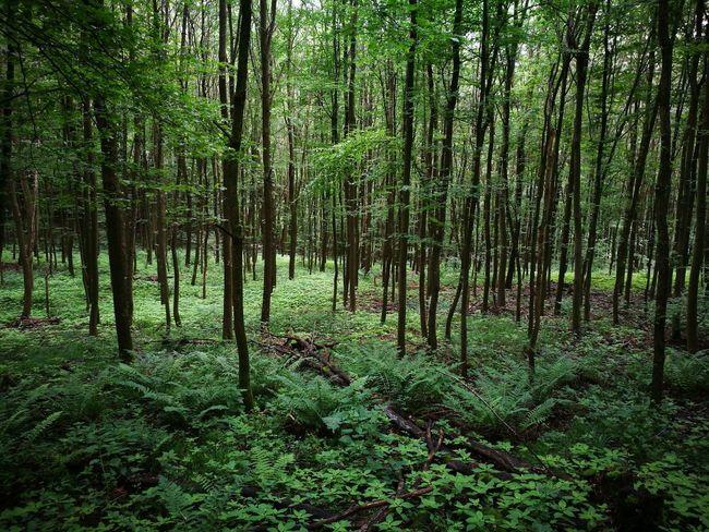Burgenweg Heidelberg Weinheim Hohensachsen Forest Wald Green Outdoors Hiking Dayhike Leafs