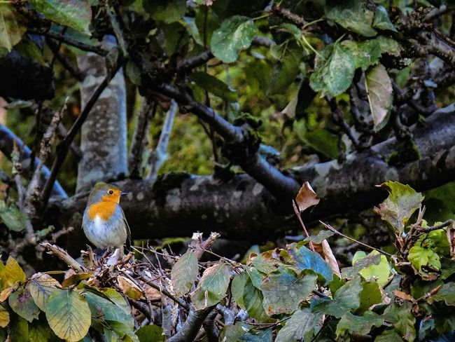 Bird Animals In The Wild Animal Themes Perching Nature Beauty In Nature Outdoors POTD Nature_collection RSPB Ornithology  Cumbria Autumn Close-up Robin Birds Nature Photography EyeEm Best Shots EyeEm Nature Lover Wildlife Wildlife & Nature POTD
