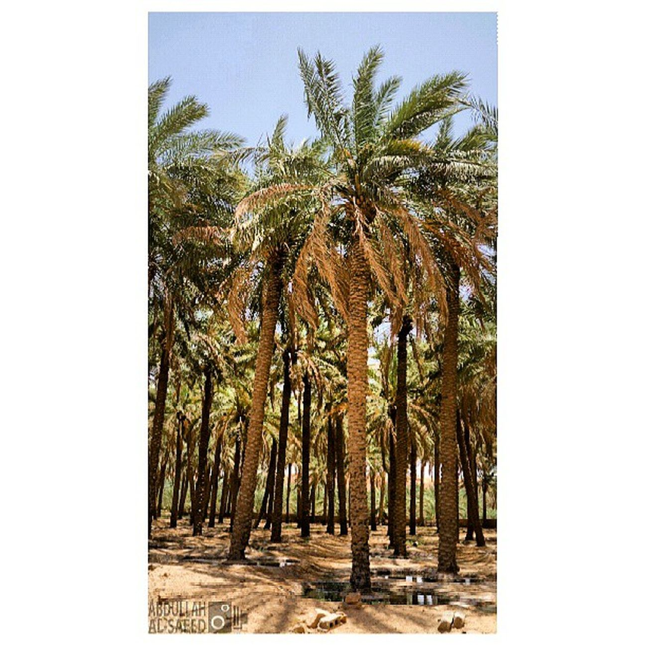 مزرعة الربيعية القصيم السعودية  تراث قديم old ksa Saudi nature beautiful landscapes photography photo photos TagsForLikes picture photography سوني sony sonya57 green