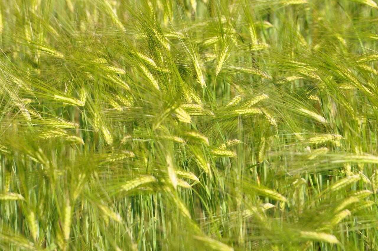 Plantation Close Up Color Green Nature Plantation Trigo Wallpaper Wheat Field