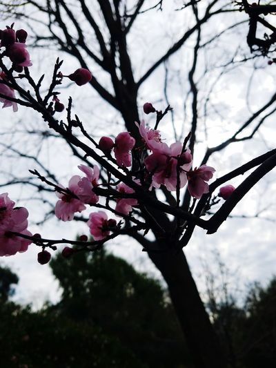 Cherry Blossoms Tree Branch Nature Beauty In Nature Outdoors Flower Freshness No People Springtime