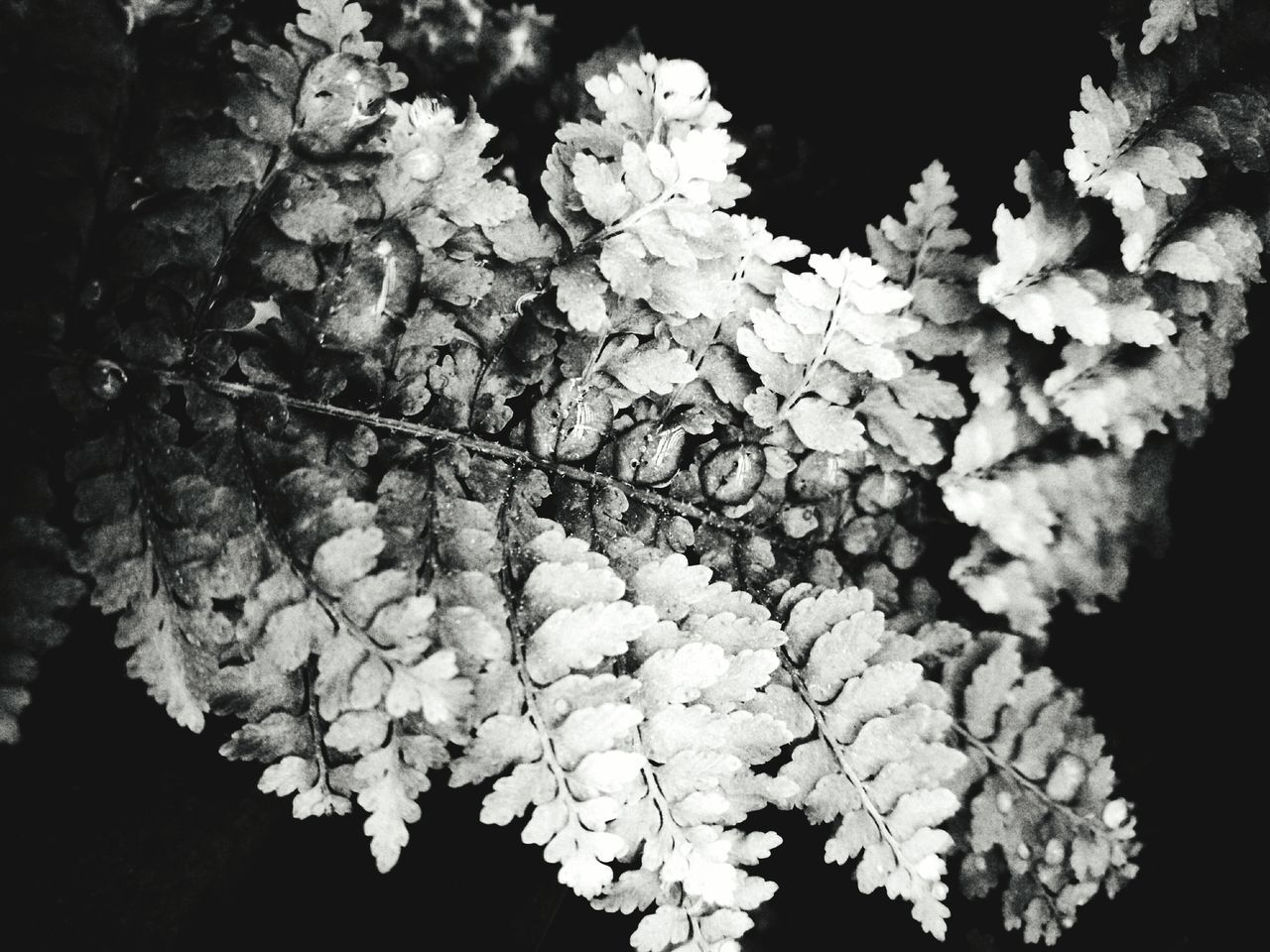 Fern Waterdrops Black And White Contrast Eyeem Plant EyeEm Gallery Eyeem Collection