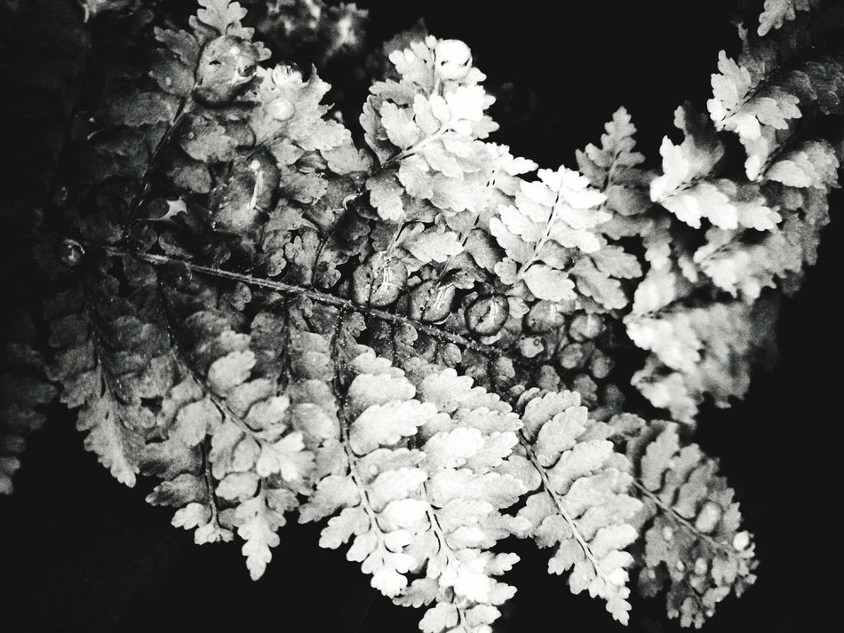Fern Waterdrops Black And White Contrast Eyeem Plant EyeEm Gallery Eyeem Collection