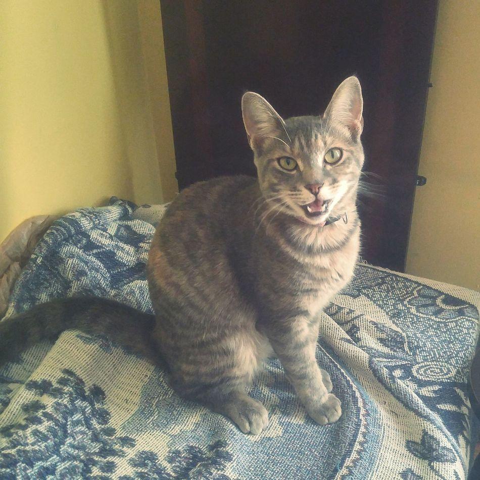 Talking Cat Cat Cats Cats Of EyeEm Tabby Tabby Cat Patience Meow