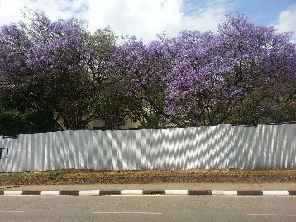 Jacaranda beauty. Nairobi Kenya Nairobi