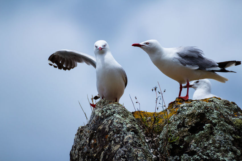 Companion Companionship Close-up Friends Bird Photography NZ New Zealand Seagull Seagulls Bird Wildlife Oh No She Didn't Oh No You Didnt Fighting Sibling Rivalry Siblings Go Away Creep Get Away From Me