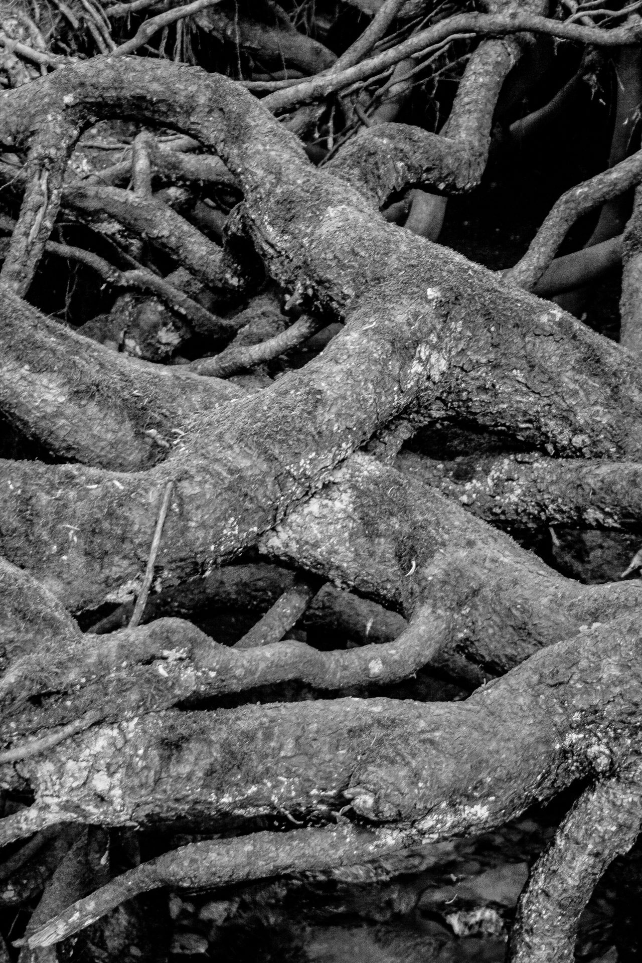 Ancient Blackandwhite Close-up Day Nature No People Outdoors Overgrown Root Roots Roots And Branches Roots Of Tree