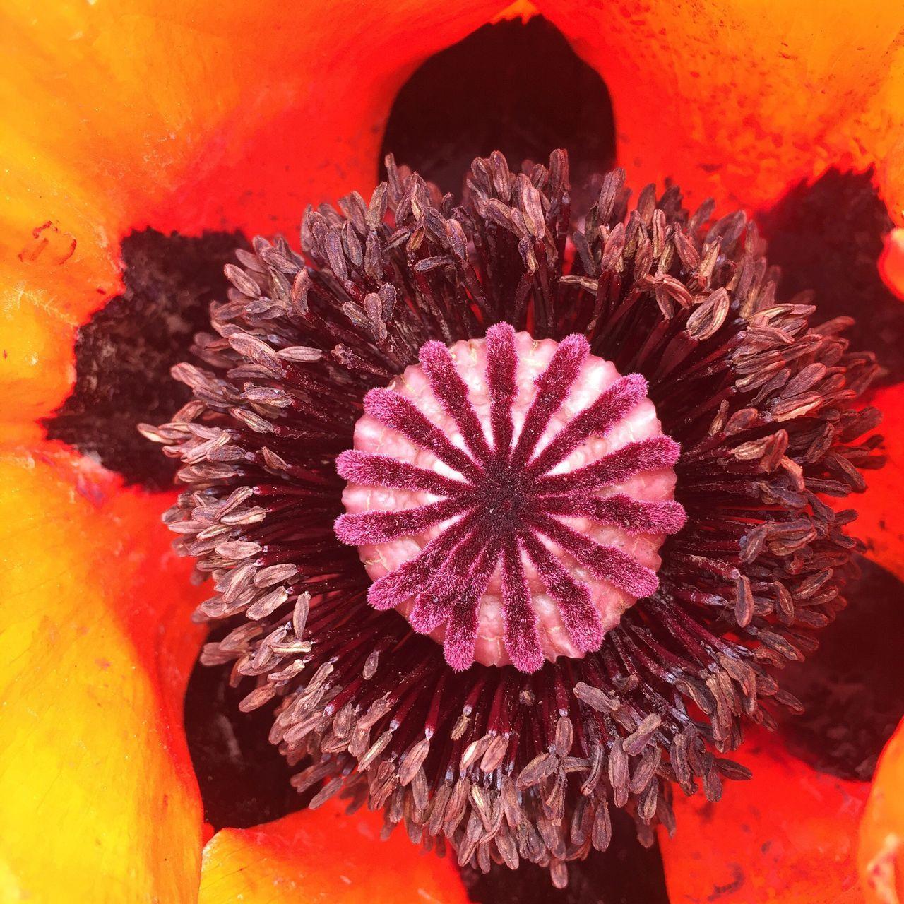 Inside of a Poppy Flower Nature Close Up Macro Orange Purple