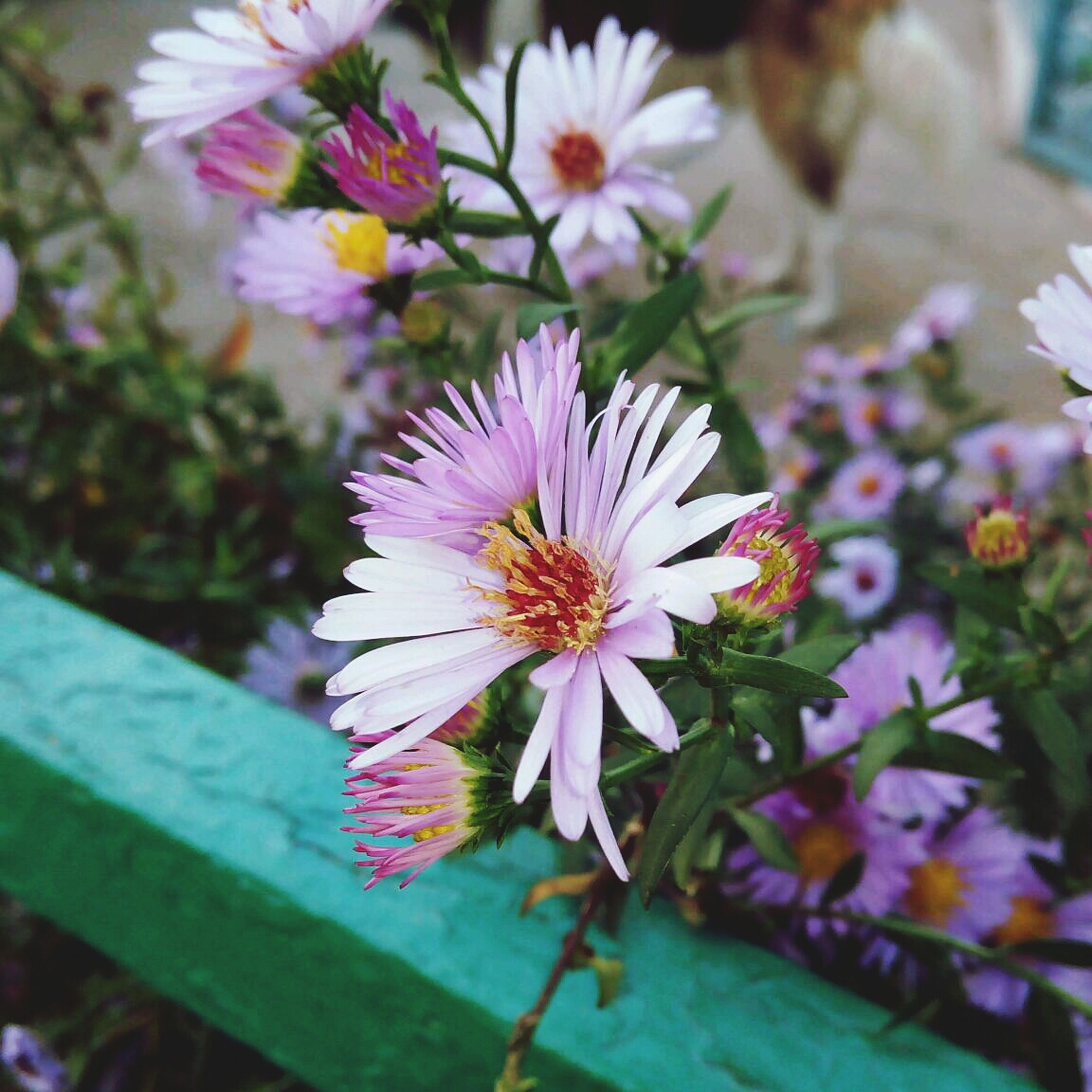 flower, petal, freshness, fragility, flower head, growth, beauty in nature, blooming, pollen, close-up, focus on foreground, nature, plant, in bloom, purple, blossom, high angle view, stamen, leaf, pink color