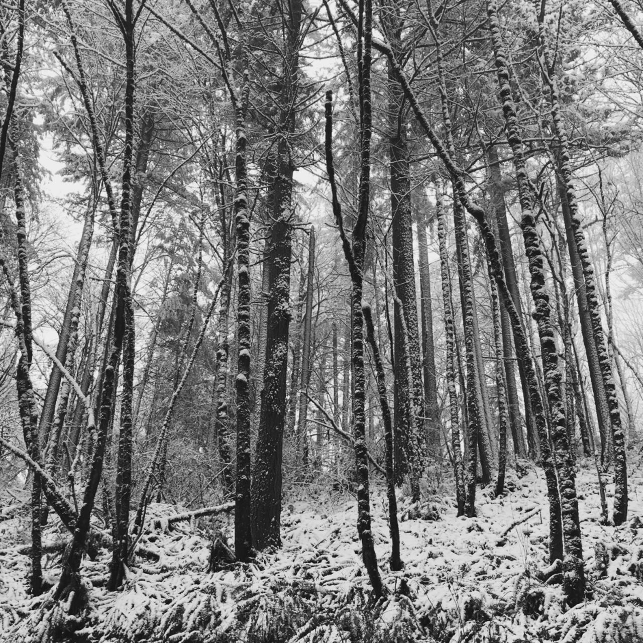 Forest Nature Winter Landscape Snow Forest Park Snow Covered Pacific Northwest  Winter Hike Winter Trees Dusting Black And White