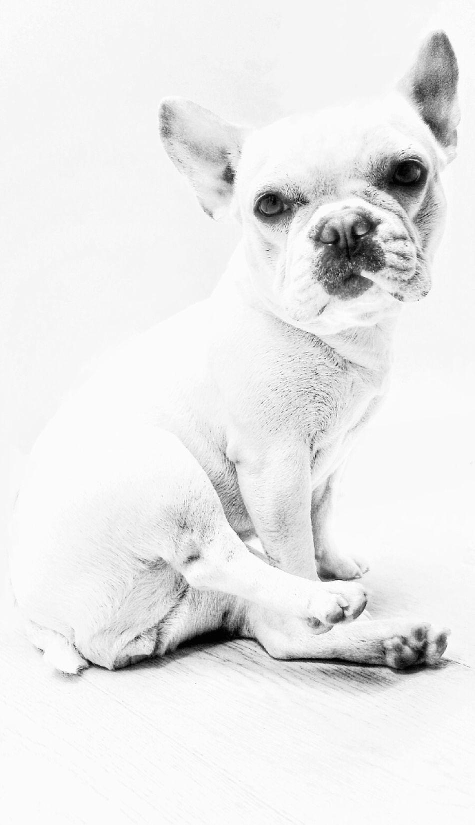 Mydog Chloe Frenchbulldog Love Blackandwhite Photography