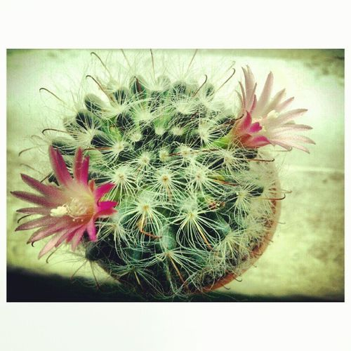 A gift. So pretty Memories Cacti Cactus Cactusblooms cactusflower flower blooms nature beautiful