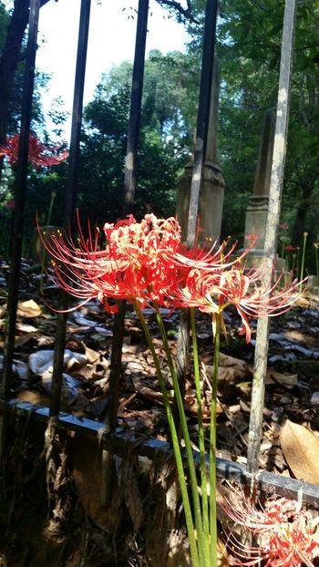 Red Spider Lily Spider Lilies Cemetery Flower Collection