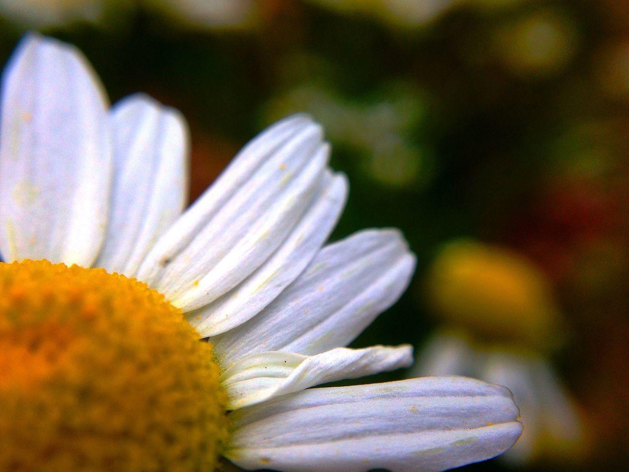 Close-Up Of Daisy At Park