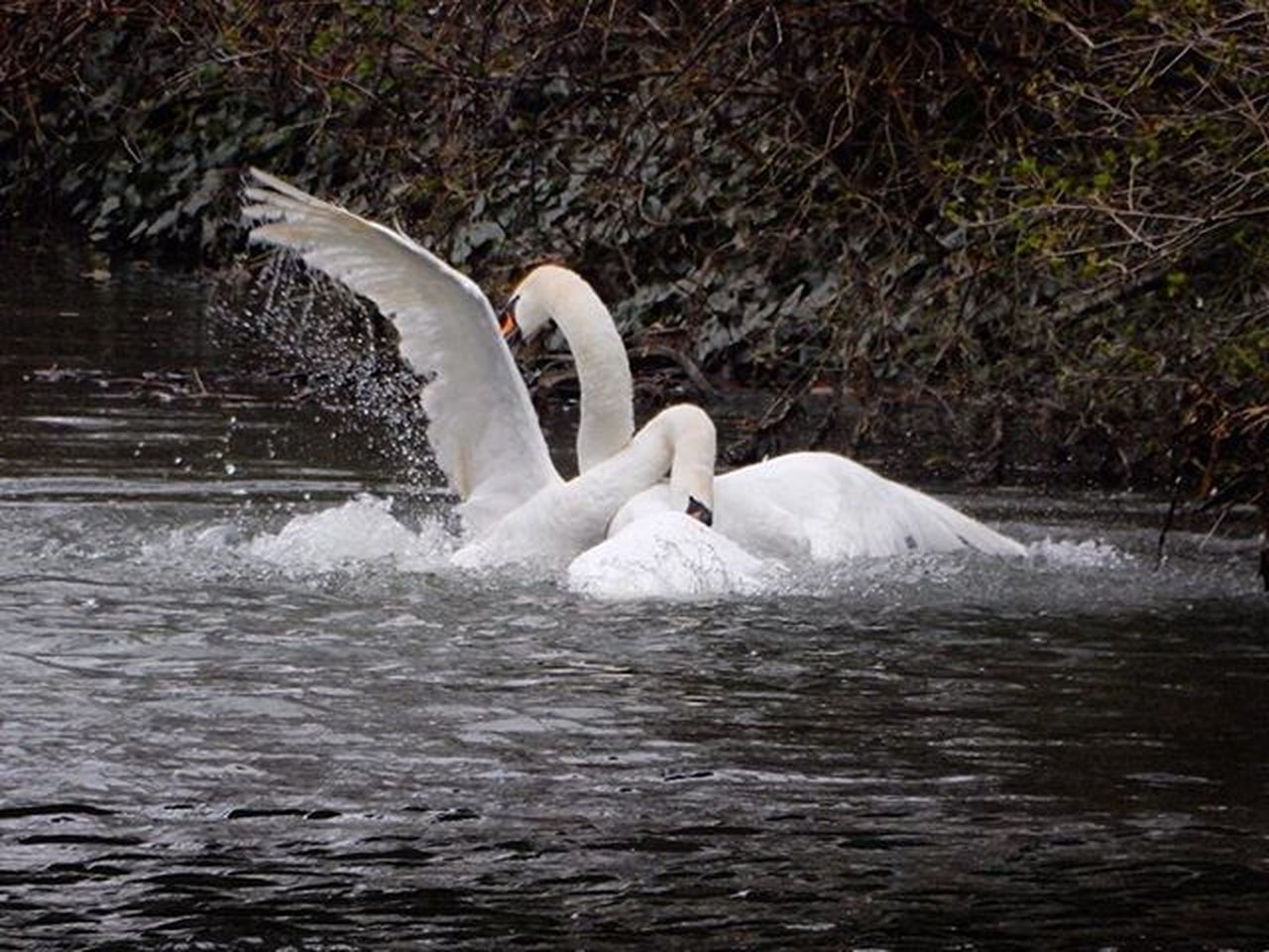 animals in the wild, swan, bird, water, white color, animal themes, lake, swimming, animal wildlife, two animals, water bird, nature, no people, floating on water, day, waterfront, beak, togetherness, spread wings, outdoors, beauty in nature, close-up