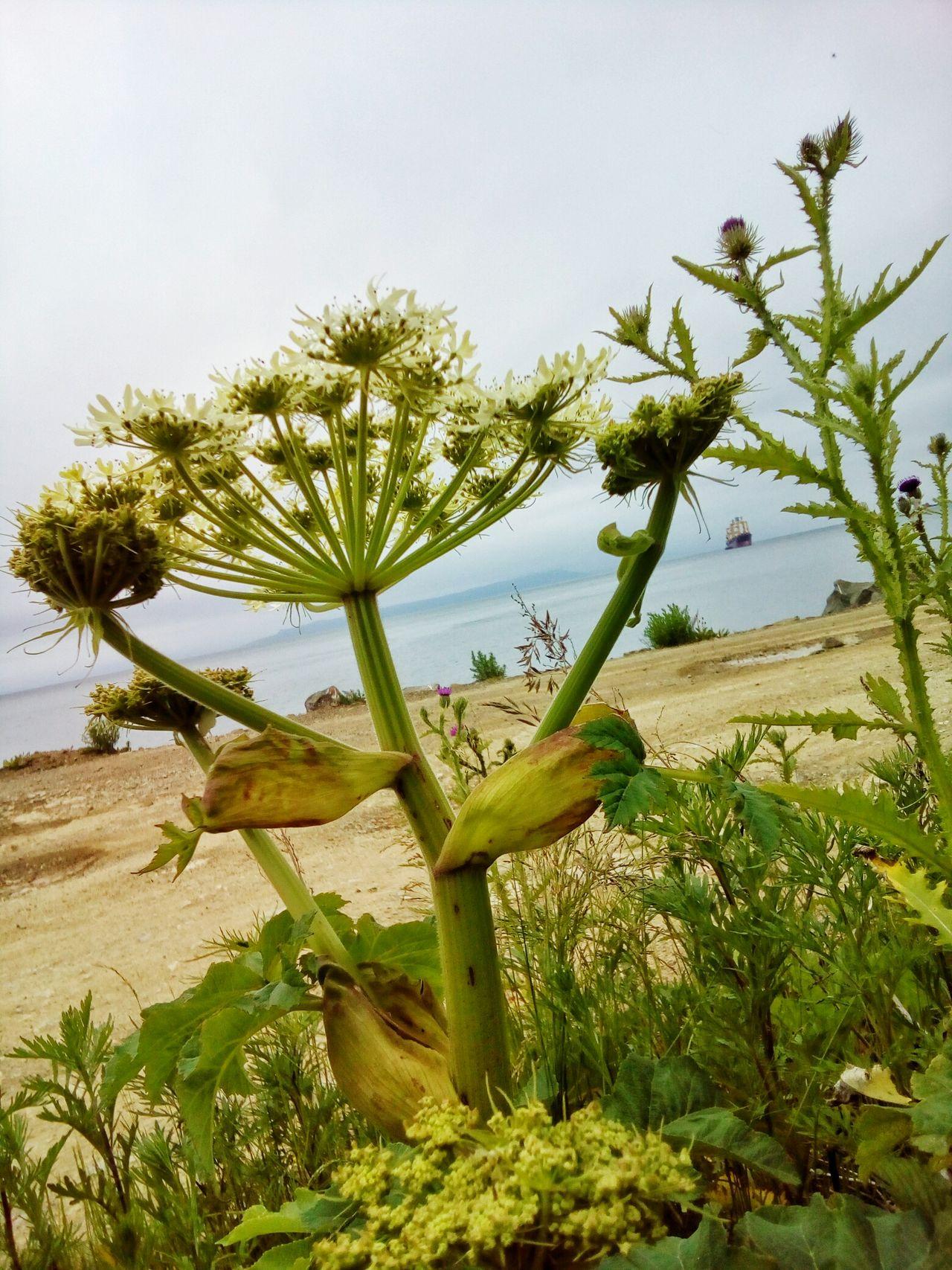 Fantastic plant Growth Plant Nature Day Outdoors Sky BIG Sea Beach Summer Heracleum Giganteum Heracleum Umbrella Apiaceae Umbelliferae Uncultivated Wild Flower