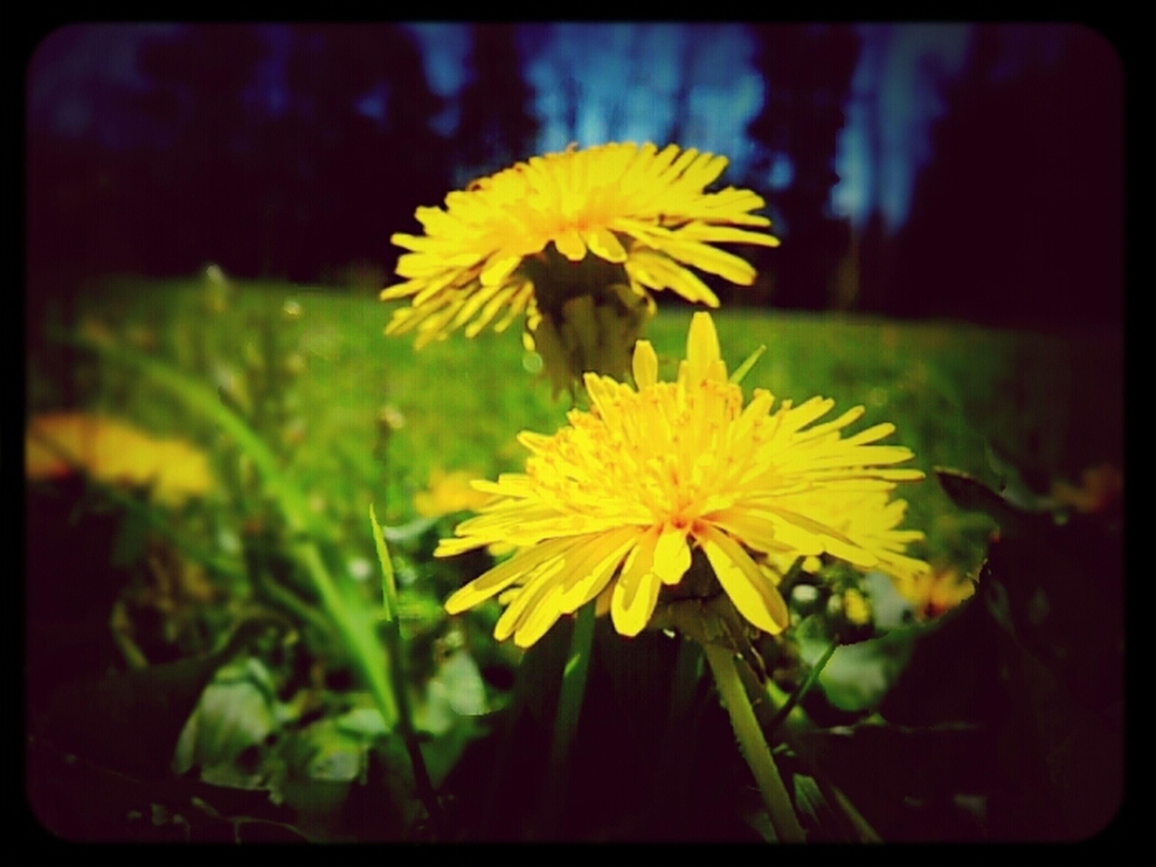 Summer Yellow Dandelions Flower Porn