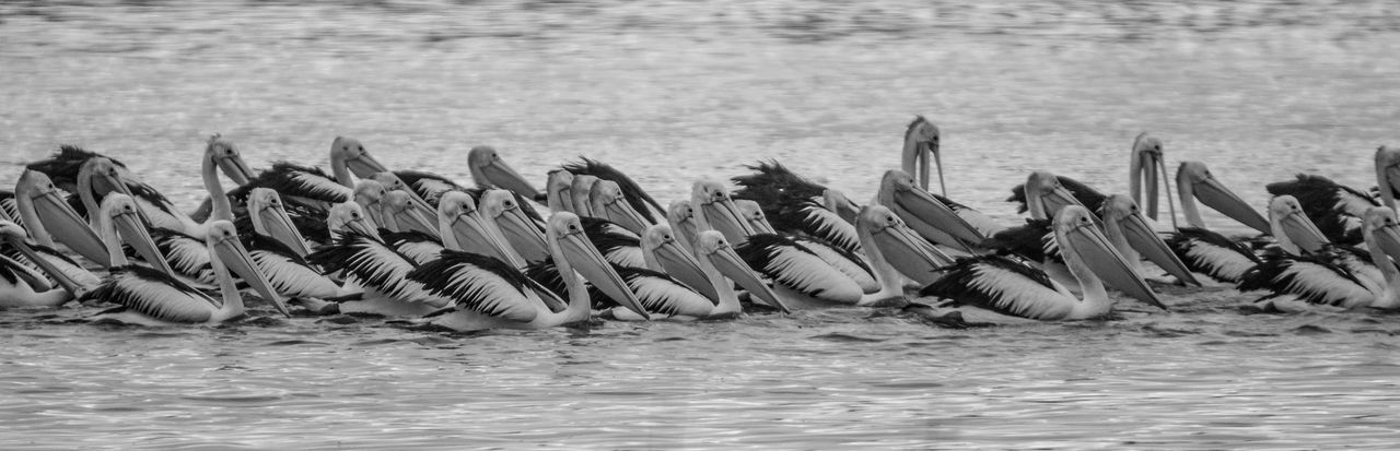 Flocking Pelicans at reedy swamp, Shepparton, Victoria Amazing Nature Animal Themes Animal Wildlife Animals In The Wild Beautiful Nature Beauty In Nature Bird Birding Black And White Black And White Birds Feeding Time Flock Of Birds Flock Of Pelicans Large Group Of Animals Nature Outdoors Pano Pelicans Photowalk Shepparton Sony Photography Swimming Water Wetlands The Great Outdoors - 2017 EyeEm Awards