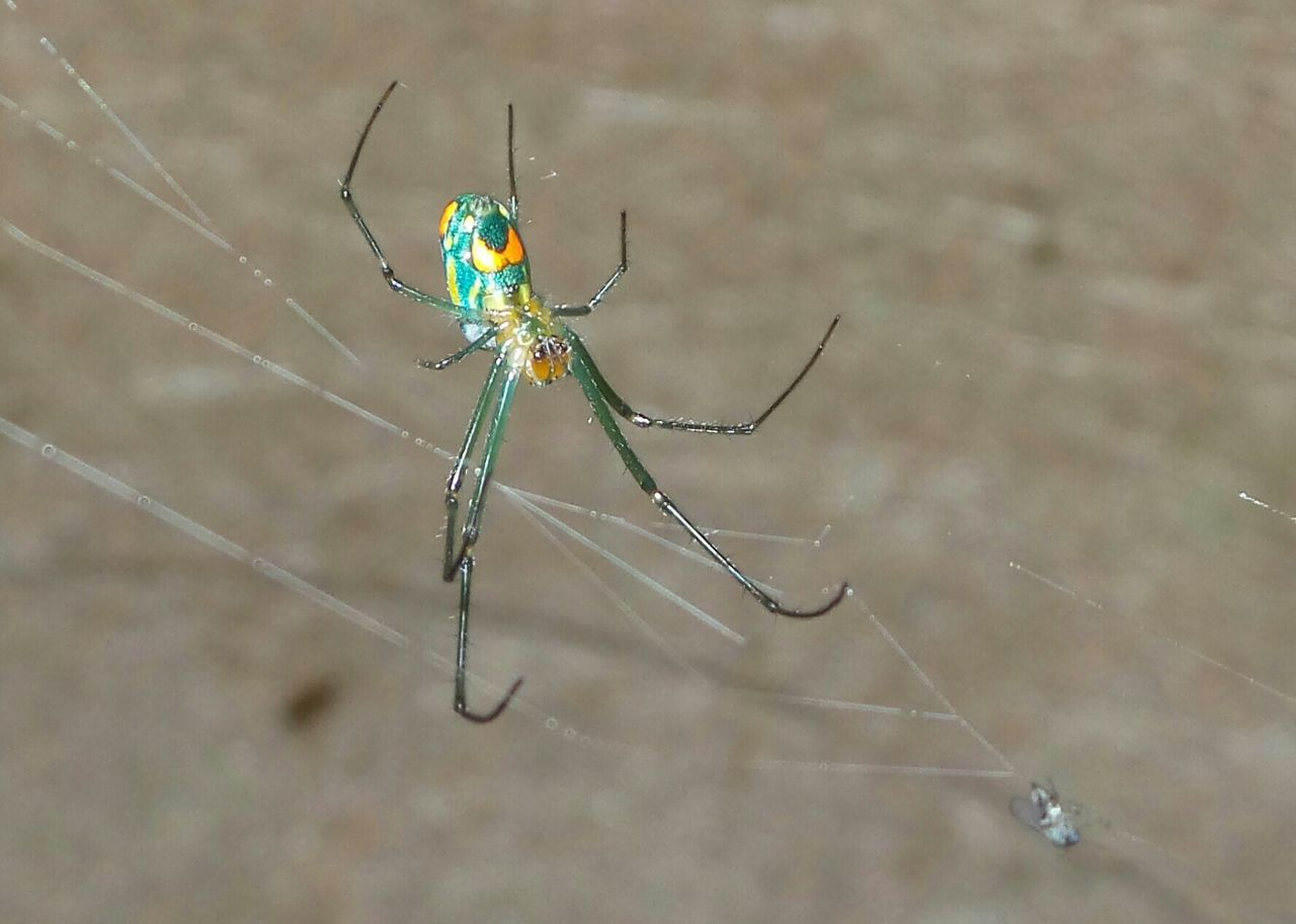 insect, one animal, animal themes, animals in the wild, spider, animal wildlife, spider web, focus on foreground, close-up, no people, outdoors, day, nature