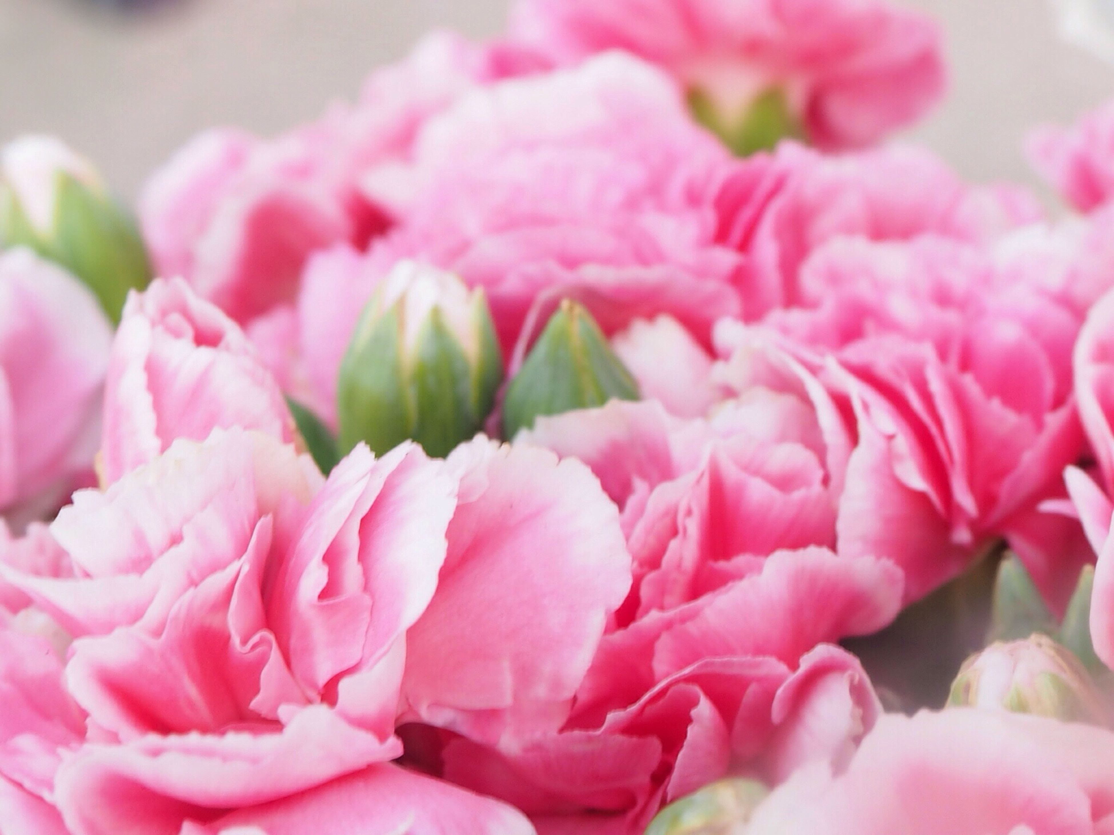 flower, freshness, petal, fragility, pink color, close-up, flower head, beauty in nature, growth, nature, focus on foreground, rose - flower, pink, selective focus, plant, blooming, no people, day, single flower, in bloom