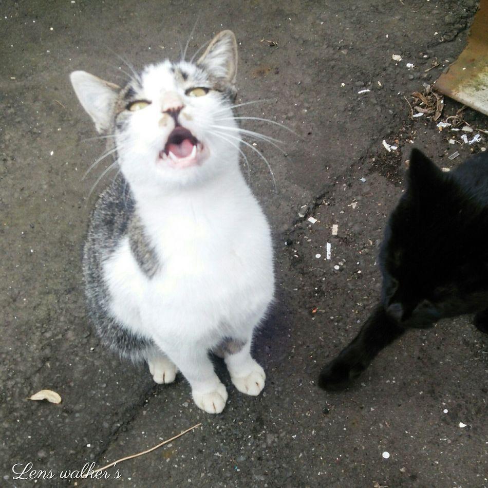 (*ΦωΦ)ニャー 野良猫 Stray Cat Cat 猫 Animals サバトラ白 クロネコ