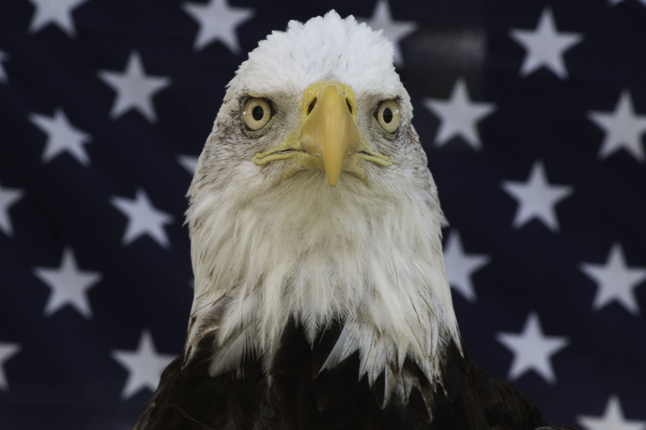 Face of an Eagle Animal Themes Bald Eagle Beak Bird Bird Of Prey Close-up Day Eagle - Bird Flag Freedom National Icon No People Patriotism Pride Strength White Color