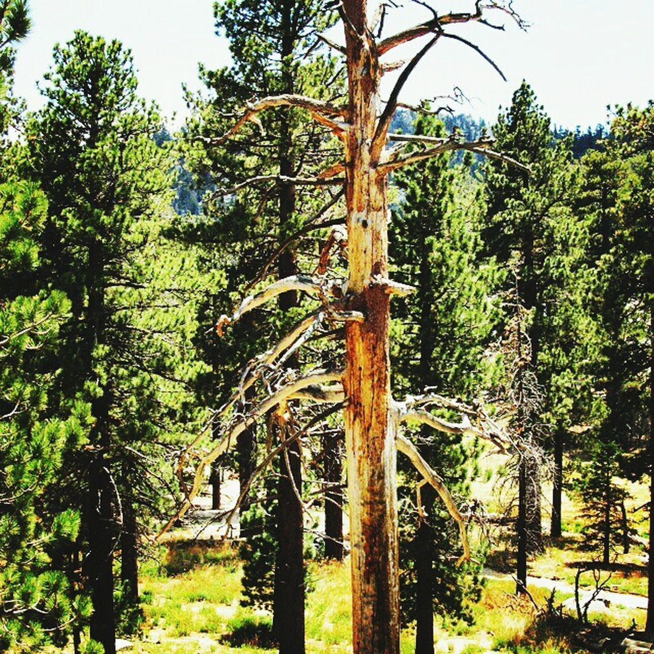 Mt. San Jacinto State Park Trees Palm Springs Tram Nature_collection Landscape Hugging A Tree