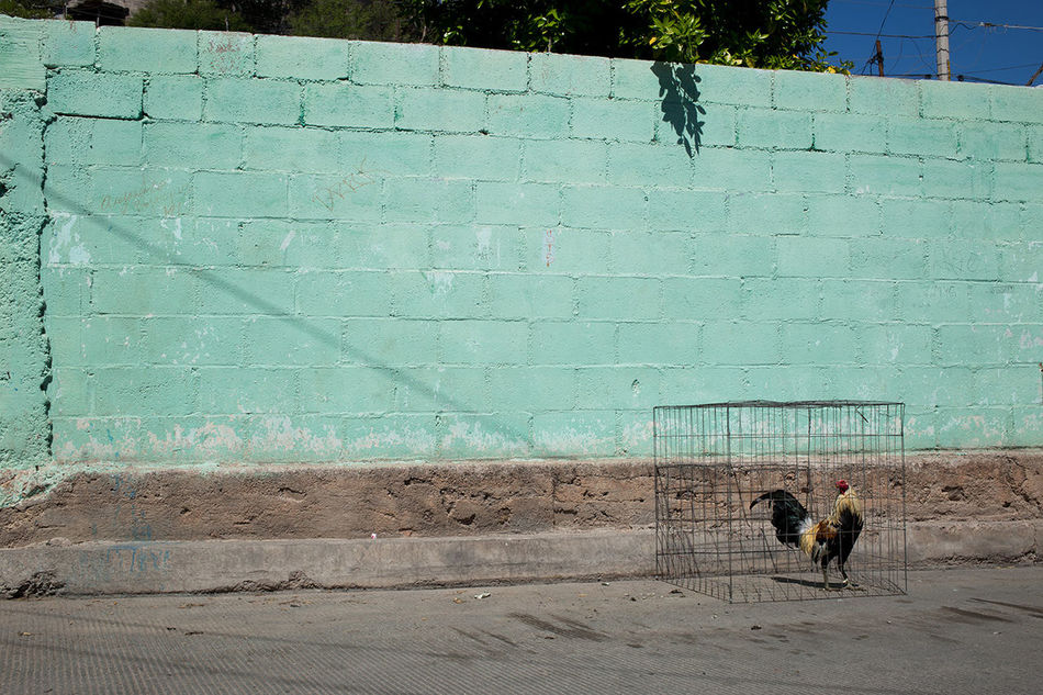 Day No People Pets Rooster Stretphotography Sunny The Street Photographer - 2016 EyeEm Awards Wall