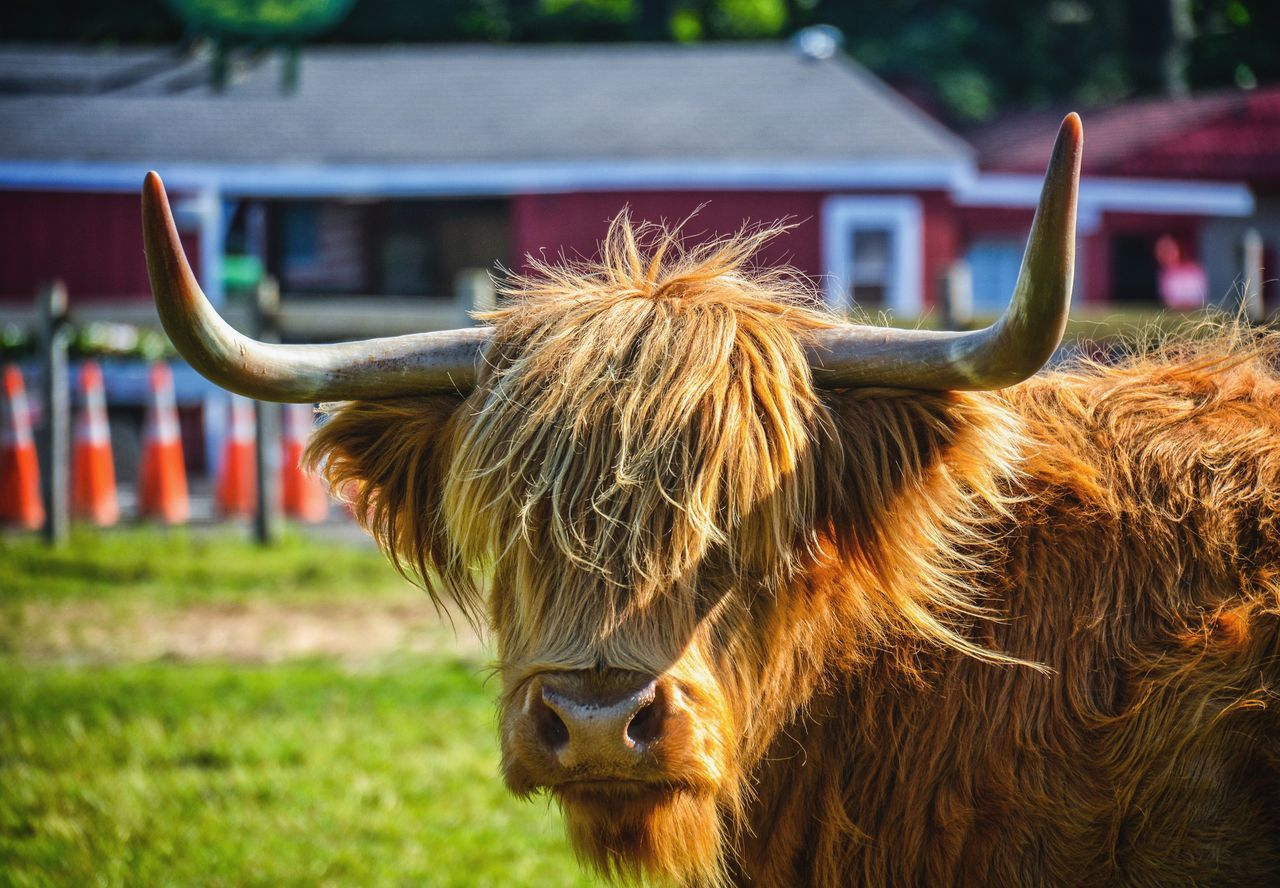 domestic animals, livestock, mammal, animal themes, domestic cattle, cow, cattle, highland cattle, horned, one animal, focus on foreground, field, no people, grass, outdoors, day, domesticated animal tag, farm animal, nature, close-up