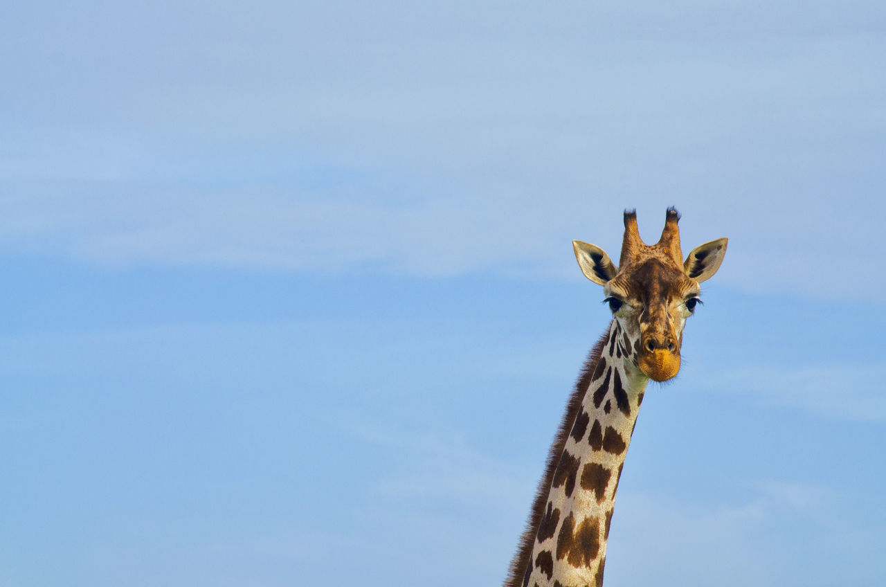 Beautiful stock photos of giraffe, Animal Body Part, Animal Head, Animal Themes, Animals In The Wild