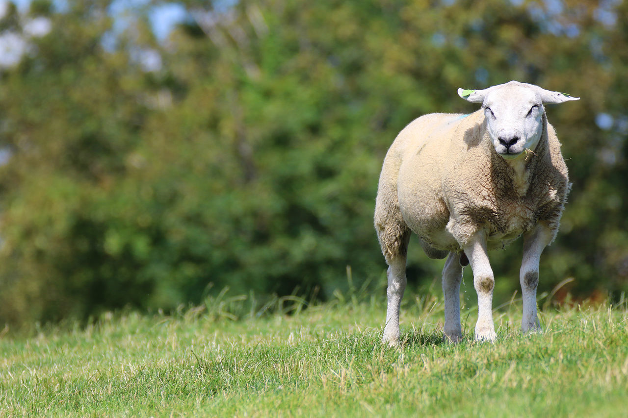Animal Animal Photography Animal Themes Animals Beauty In Nature Field Friesland Frisian Grass Sheep Sheeps Wildlife Canon EOS 7D Mark II Canon Netherlands Tamron Tamron 150-600