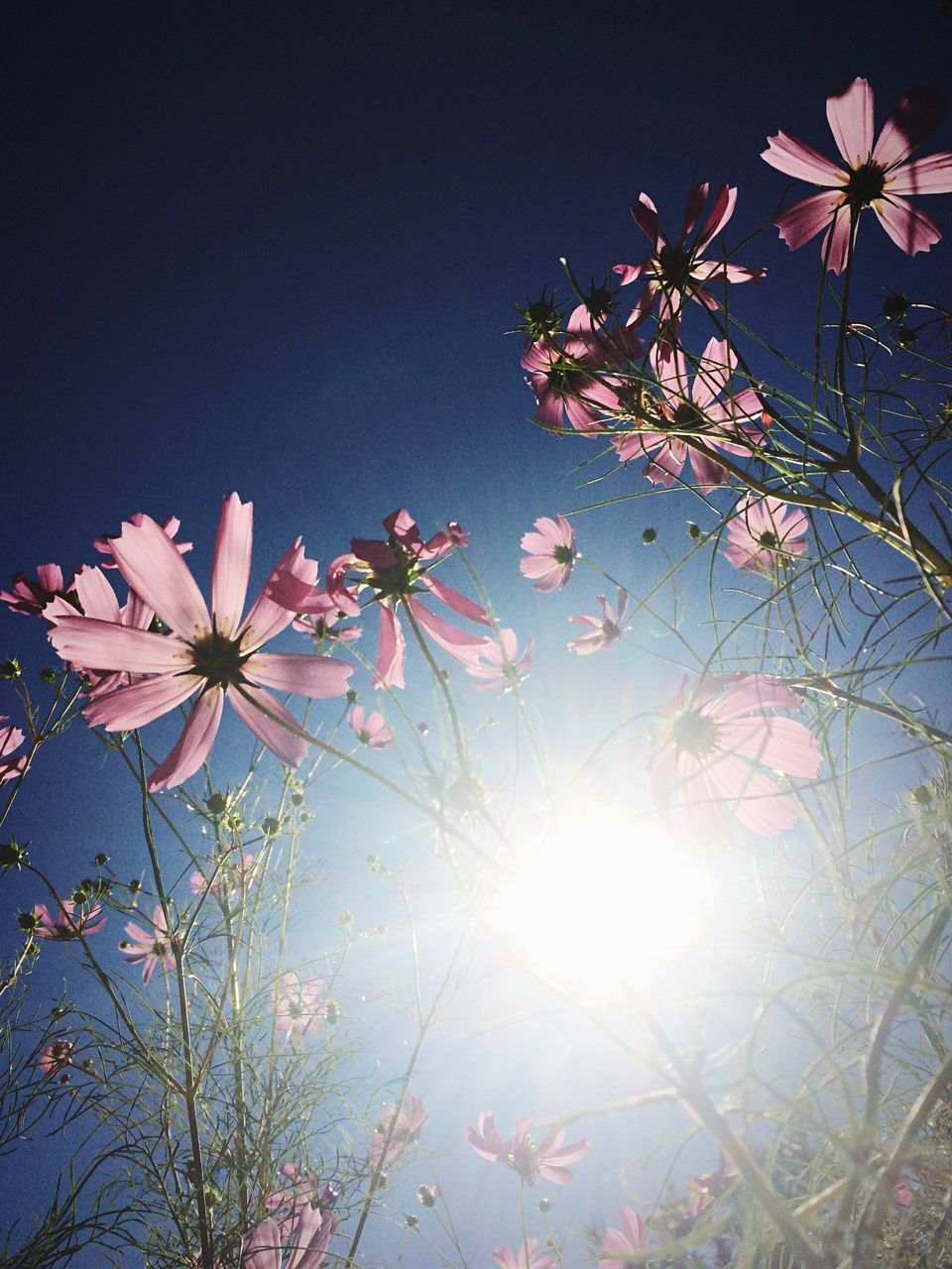 flower, beauty in nature, nature, growth, fragility, sky, sun, sunlight, no people, plant, freshness, blossom, clear sky, tree, branch, low angle view, outdoors, day, blooming, flower head, close-up