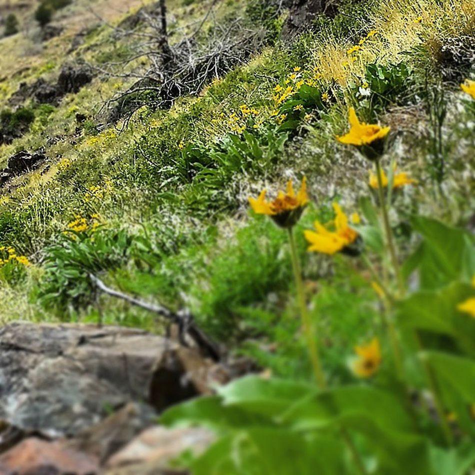 Winnemuccanv Winnemucca Happygolucky America Nevada Northennevada Springishere Tomascayon Cayon Beauty America Nevada Nevadaflowers