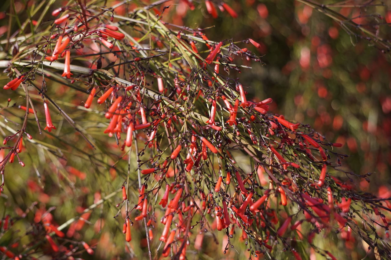red, nature, growth, tree, beauty in nature, outdoors, branch, day, leaf, plant, no people, close-up