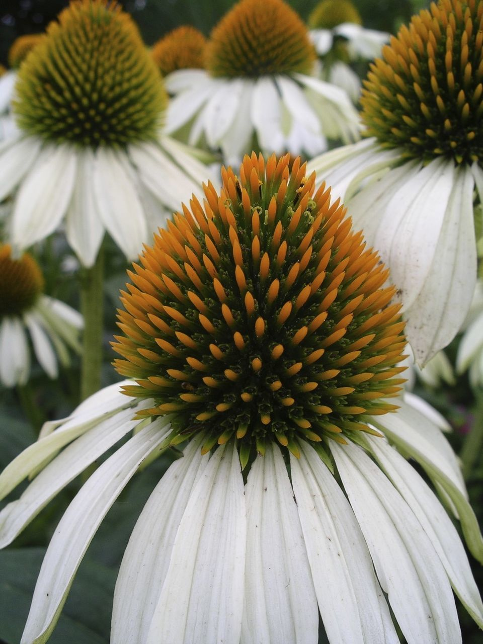flower, coneflower, fragility, petal, flower head, nature, freshness, eastern purple coneflower, pollen, focus on foreground, growth, close-up, day, beauty in nature, blooming, no people, plant, outdoors, yellow, black-eyed susan