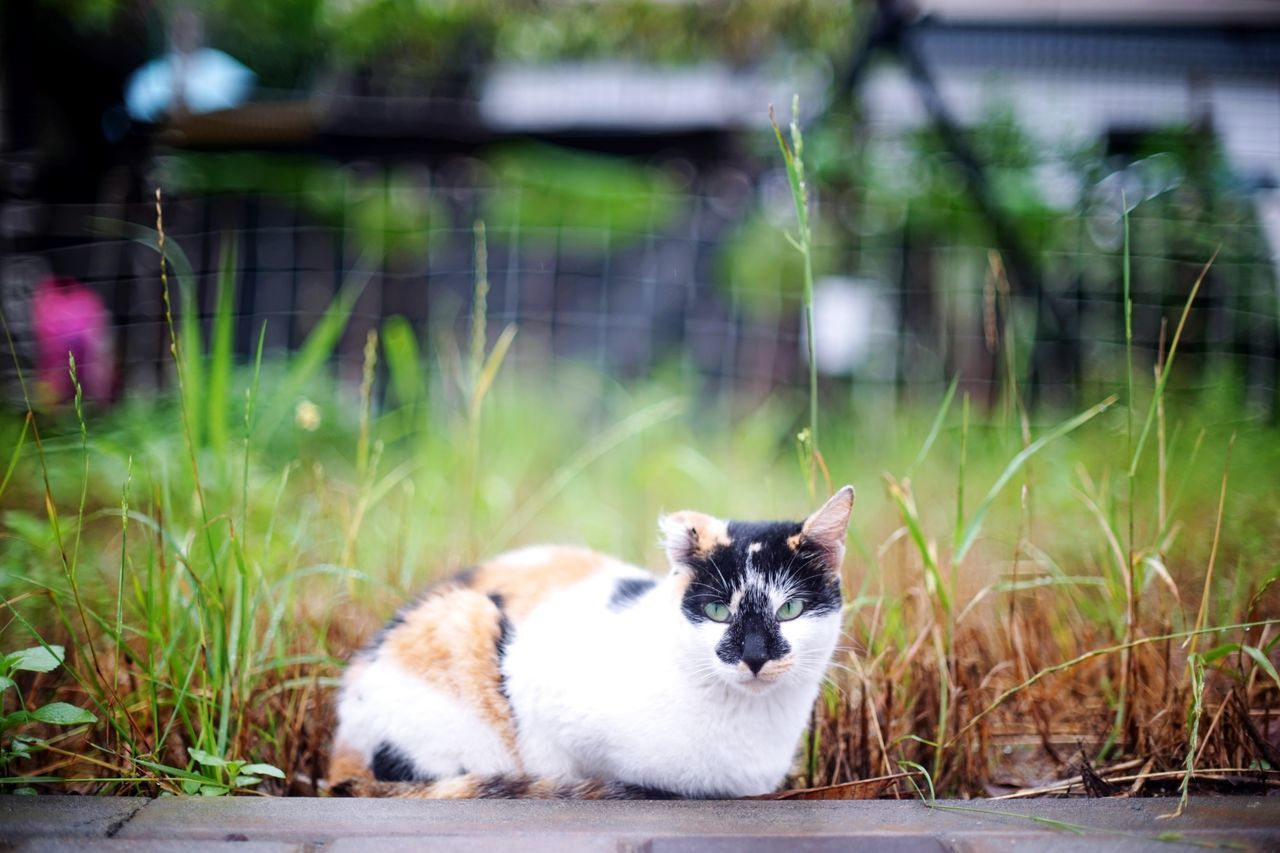 貓花兒 Animal Pets Grass Mammal One Animal Domestic Animals Animal Themes Cute Portrait Looking At Camera Ear Nature Katze The Great Outdoors - 2017 EyeEm Awards Animal Wildlife 街貓 Animals In The Wild Grass Feline Blacknose