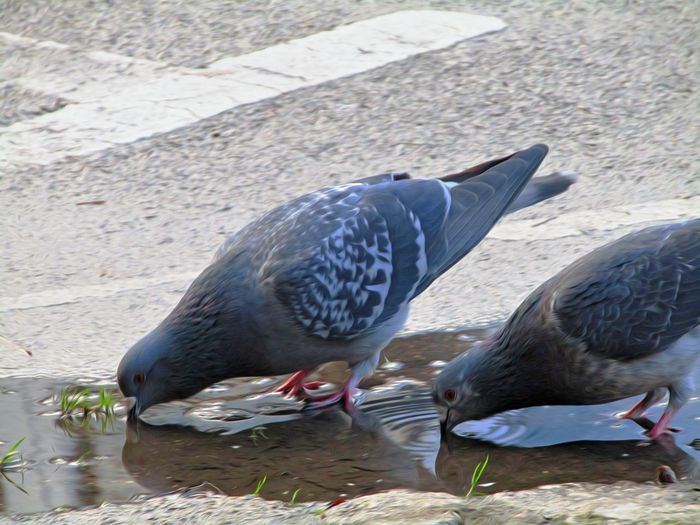 Bird Animal Themes Animals In The Wild Animal Wildlife No People Nature Feather  Nature Softsmudge Edit Junkie Pigeon Drinking