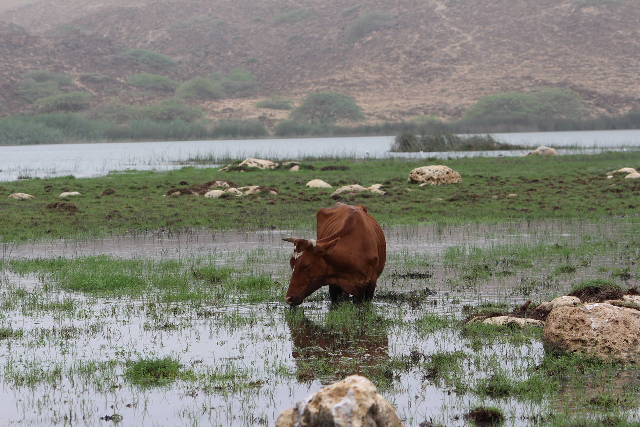 Cow Grazing On Wet Lakeshore By Mountain