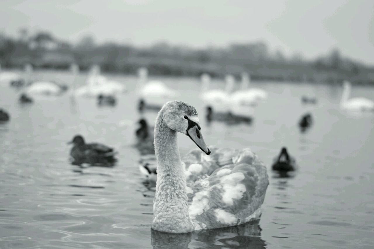 animal themes, water, bird, animals in the wild, wildlife, lake, focus on foreground, one animal, duck, nature, swimming, beak, rippled, water bird, day, waterfront, perching, two animals, outdoors, swan