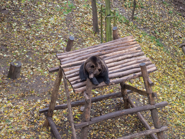 Animal Animal Photography Bear Bored Castlemoat From Above  Hanging Out Looking Down Wildlife