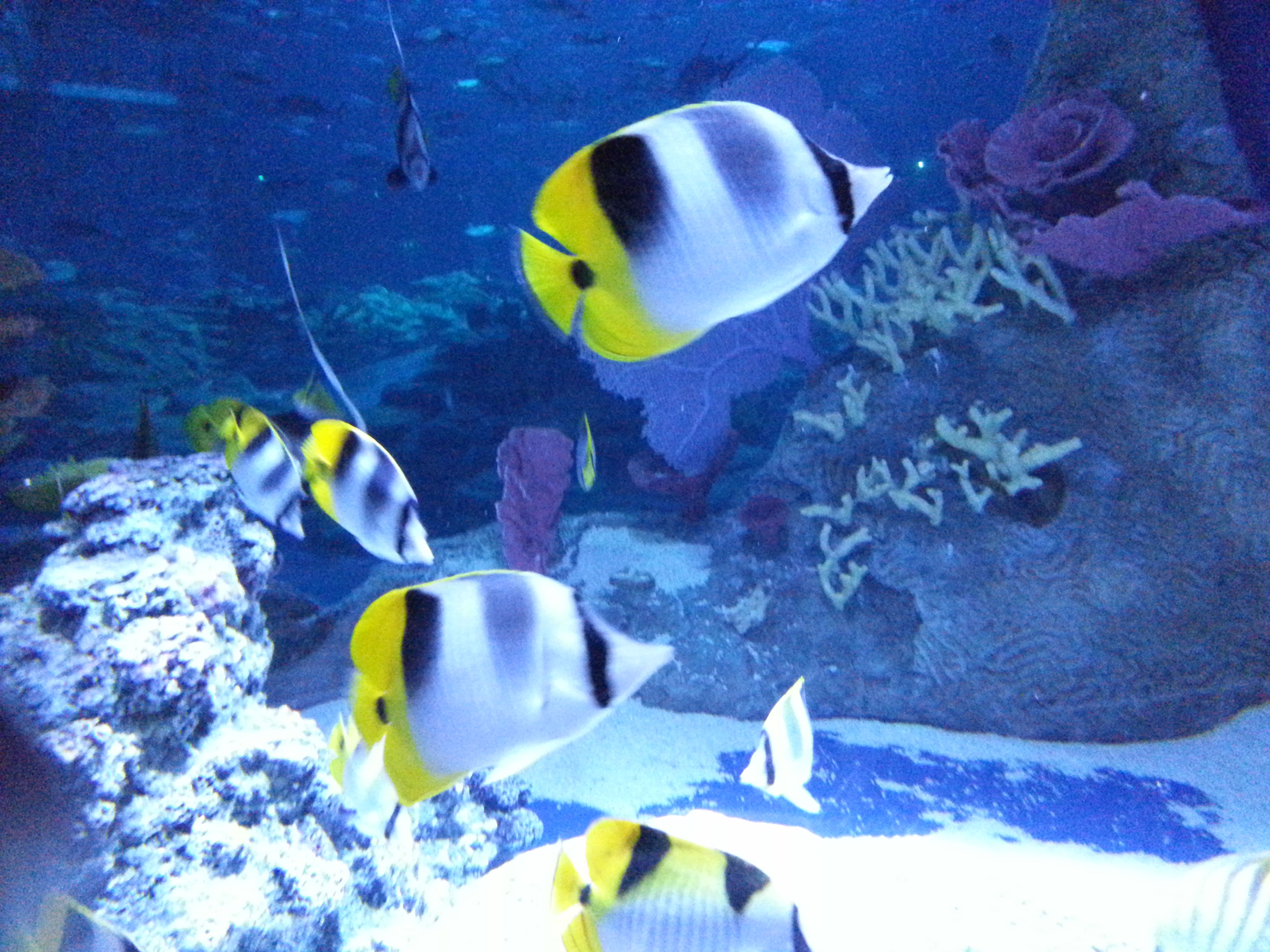 underwater, animal themes, swimming, animals in the wild, fish, sea life, wildlife, water, undersea, blue, aquarium, one animal, sea, nature, school of fish, beauty in nature, yellow, high angle view, two animals