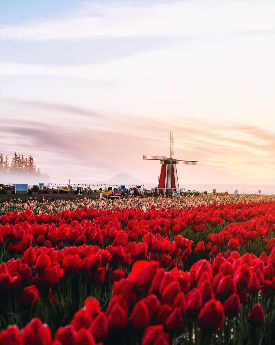 Springtime blooms. Flower Beauty In Nature Red Sky Nature Environmental Conservation Field Scenics Outdoors Cloud - Sky Tranquility Alternative Energy No People Wind Power Sunset Landscape Growth Day Wind Turbine Water