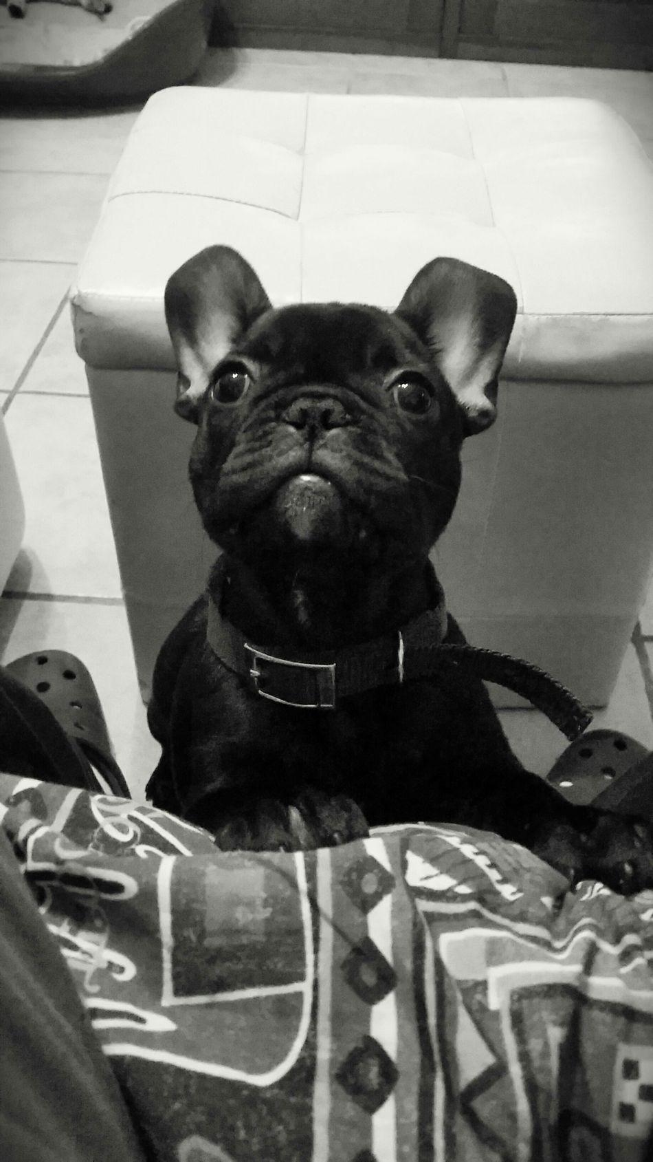 Dragon Bouledogue Francais Frenchbulldog Bulldogfrances Bouledoguefrancais French Bulldog My Dog I Love My Dog Dog ❤ Bulldog Francese Bouledogue Francese Piemonte