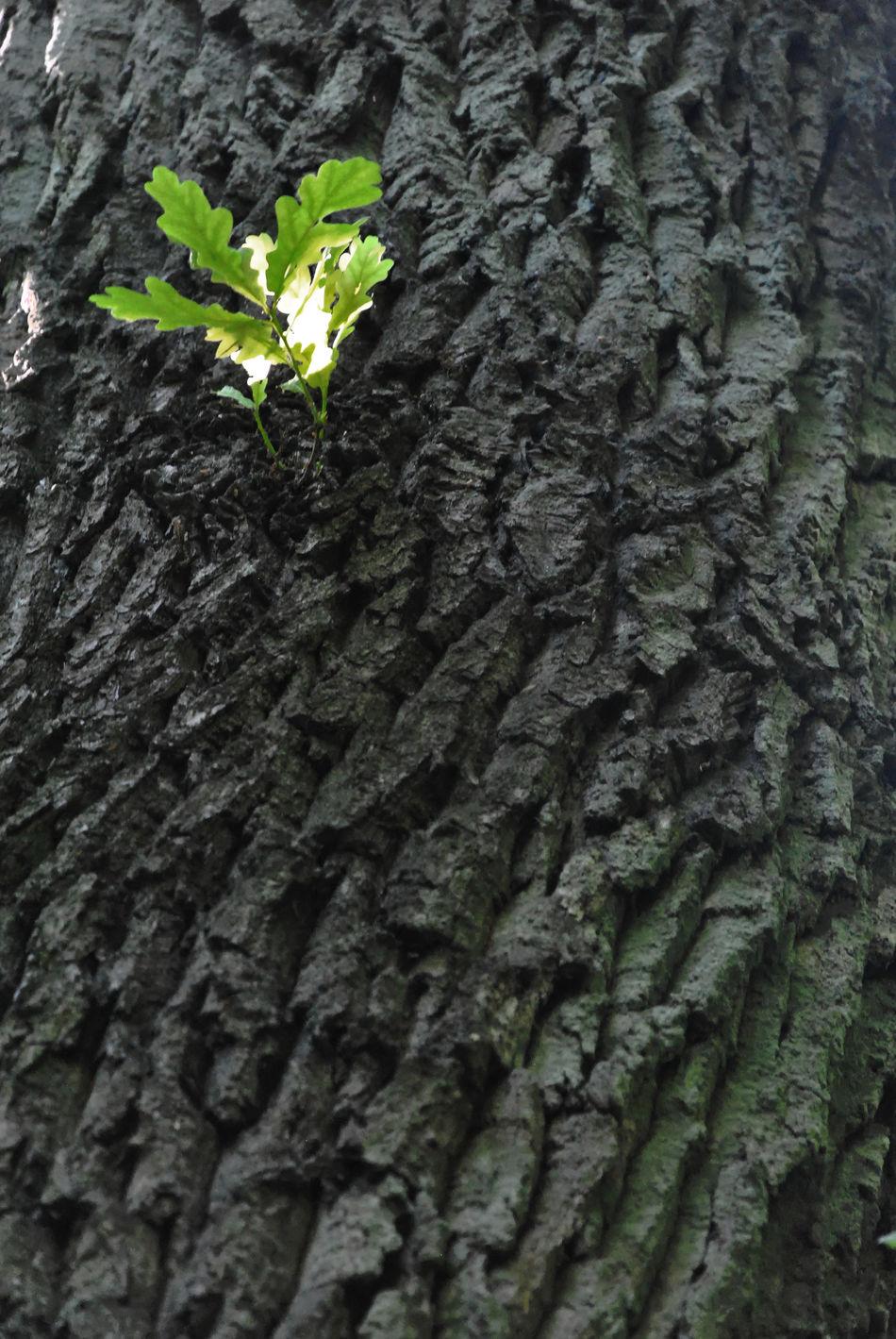 Fresh start Close-up English Oak Freshness Growth Leaf New Start Plant Quercus Robur Tree