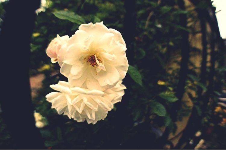 Flower, Rose