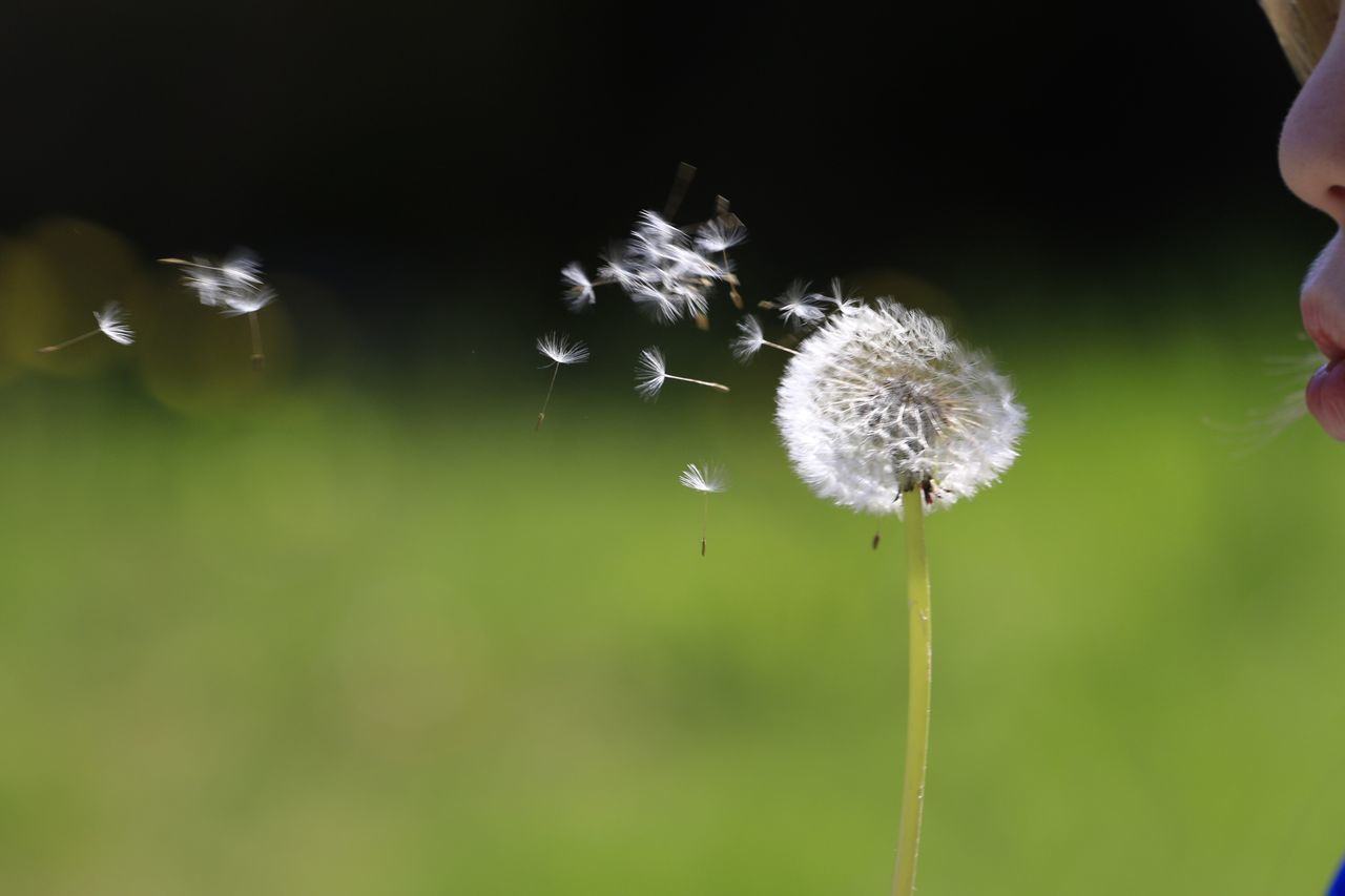 Dandelion Spring Make A Wish !